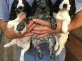 Собаки, щенята Російський спаніель, ціна 3000 Грн., Фото