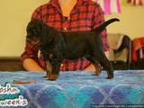 Собаки, щенки Сеттер-гордон, цена 12000 Грн., Фото