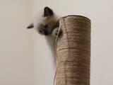 Кошки, котята Балинез, цена 450 Грн., Фото