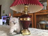 Кошки, котята Персидская, цена 600 Грн., Фото