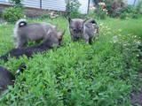 Собаки, щенята Західно-Сибірська лайка, ціна 1 Грн., Фото