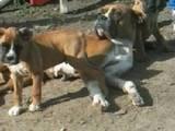 Собаки, щенята Боксер, ціна 950 Грн., Фото