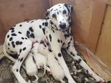 Собаки, щенята Далматин, ціна 12000 Грн., Фото