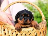 Собаки, щенята Ротвейлер, ціна 7500 Грн., Фото