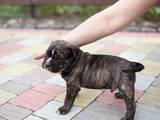 Собаки, щенки Мальоркский бульдог (Ка Де Бо), цена 13500 Грн., Фото