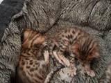 Кошки, котята Бенгальская, цена 3000 Грн., Фото