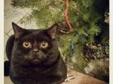 Кошки, котята Британская короткошерстная, цена 550 Грн., Фото
