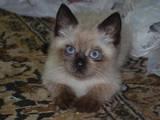 Кішки, кошенята Бірманська, ціна 700 Грн., Фото