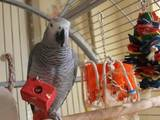 Папуги й птахи Папуги, ціна 2500 Грн., Фото