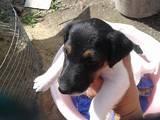 Собаки, щенята Гладкошерста фокстер'єр, ціна 3.50 Грн., Фото