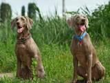 Собаки, щенки Веймарская легавая, цена 15000 Грн., Фото