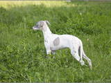 Собаки, щенки Уиппет, цена 12000 Грн., Фото