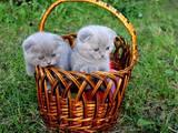 Кошки, котята Шотландская вислоухая, цена 1300 Грн., Фото