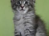 Кошки, котята Мэйн-кун, цена 13640 Грн., Фото