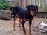 Собаки, щенки Западно-Сибирская лайка, цена 5 Грн., Фото