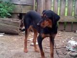 Собаки, щенки Эстонская гончая, цена 5 Грн., Фото
