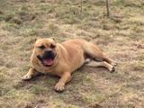 Собаки, щенята Мальоркскій бульдог (Ка Де Бо), ціна 20000 Грн., Фото