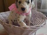 Собаки, щенята Далматин, ціна 10000 Грн., Фото