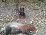 Собаки, щенята Ягдтер'єр, ціна 2500 Грн., Фото