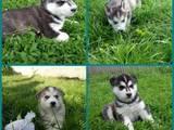 Собаки, щенки Сибирский хаски, цена 5250 Грн., Фото