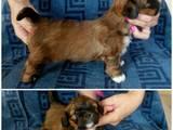 Собаки, щенята Лхаса апсо, ціна 5000 Грн., Фото