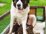 Собаки, щенки Московская сторожевая, цена 4000 Грн., Фото