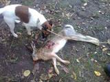 Собаки, щенята Гладкошерста фокстер'єр, ціна 1250 Грн., Фото
