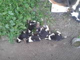Собаки, щенки Эстонская гончая, цена 700 Грн., Фото