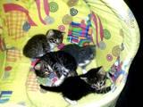 Кішки, кошенята Британська короткошерста, ціна 10 Грн., Фото