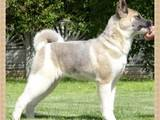 Собаки, щенки Американский акита, цена 7000 Грн., Фото