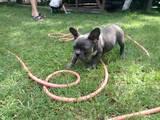 Собаки, щенята Французький бульдог, ціна 16000 Грн., Фото