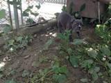 Собаки, щенки Французский бульдог, цена 16000 Грн., Фото