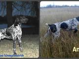 Собаки, щенки Немецкая гладкошерстная легавая, цена 5000 Грн., Фото