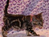 Кошки, котята Бенгальская, цена 2500 Грн., Фото