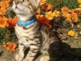 Кішки, кошенята Бенгальськая, ціна 2500 Грн., Фото