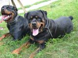 Собаки, щенята Ротвейлер, ціна 6000 Грн., Фото