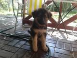 Собаки, щенки Немецкая овчарка, цена 3500 Грн., Фото