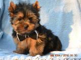 Собаки, щенки Йоркширский терьер, цена 3700 Грн., Фото