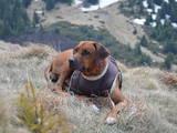 Собаки, щенята Родезійського ріджбек, ціна 1 Грн., Фото