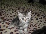 Кошки, котята Британская короткошерстная, цена 2000 Грн., Фото