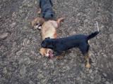 Собаки, щенята Ягдтер'єр, ціна 1600 Грн., Фото