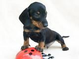 Собаки, щенки Гладкошерстная миниатюрная такса, цена 1500 Грн., Фото