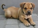Собаки, щенята Мальоркскій бульдог (Ка Де Бо), ціна 7000 Грн., Фото
