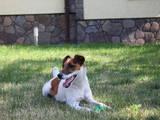 Собаки, щенки Джек Рассел терьер, цена 1 Грн., Фото