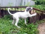 Собаки, щенки Грейхаунд, цена 2000 Грн., Фото