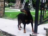 Собаки, щенята Ягдтер'єр, ціна 3700 Грн., Фото