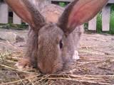 Грызуны Кролики, цена 650 Грн., Фото