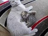 Кішки, кошенята Шотландська висловуха, ціна 300 Грн., Фото