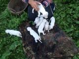 Собаки, щенята Аргентинський дог, ціна 13500 Грн., Фото