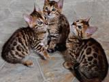 Кішки, кошенята Бенгальськая, ціна 4499 Грн., Фото